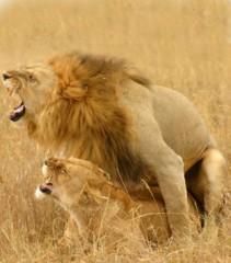 Lions_copulation.jpg